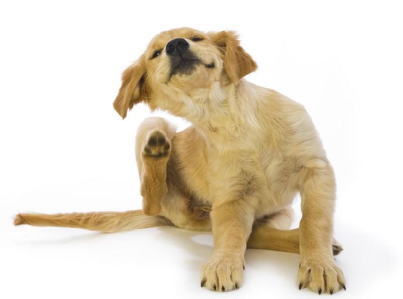 Räude bei Hunden verursacht starken Juckreiz